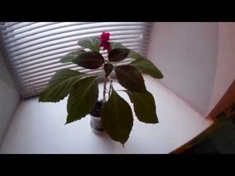 """Комнатный цветок БАЛЬЗАМИН (""""МОКРЫЙ ВАНЬКА"""", """"НЕДОТРОГА"""", """"ОГОНЁК""""). Цветущий розовый бальзамин"""