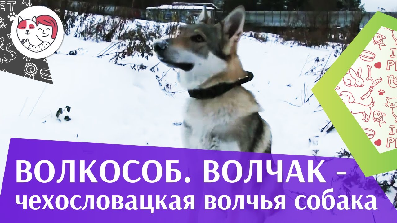 Чехословацкая волчья собака  Волчак ч 2  ilikepet