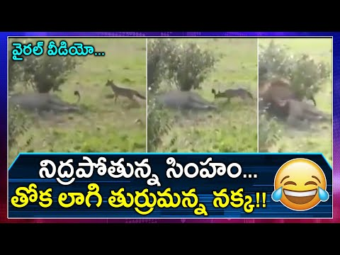 Netizens amused with naughty jackal's fearless prank on sleeping lion