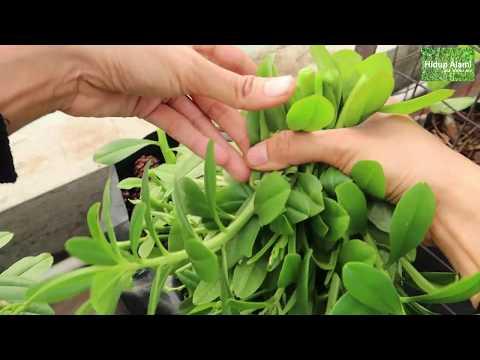 Ep. 58 Panen kangkung ke 5x dari tanaman yang sama, mungkinkah? giseng jawa subur lagi