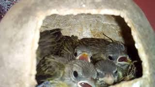 Filhotes De Canário Da Terra Criados Na Natureza
