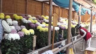 明石公園 菊花展