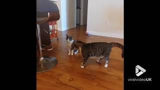 animale faze de ras - cu pisici
