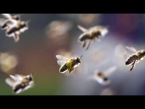 Пчелиные укусы. Их польза и вред.