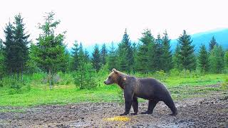 Bear and wild boar live streaming archive