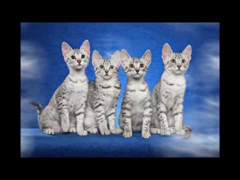 Egyptian Mau Cat And Kittens | History Of The Egyptian Historical Breed