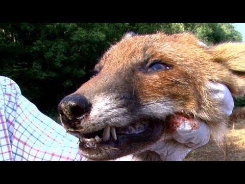 Pellet Power & Performance – FX Boss air rifle test on a fox's head