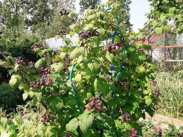 Черная малина Кумберленд в моем саду,стоило ли ее сажать
