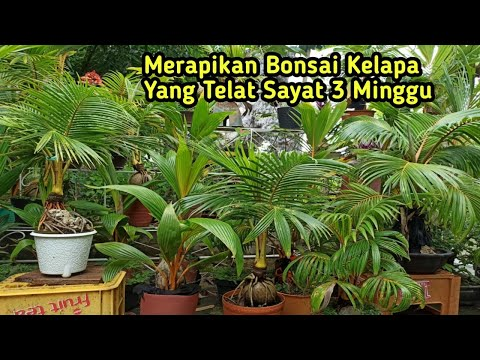 Coconut bonsai is  untreated for 3 weeks