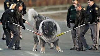 This Dog Is Very Dangerous For Humans...