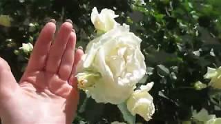 Огромные розы.