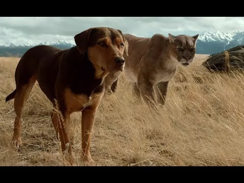 狗狗收养了一只美洲狮,每当狗狗被欺负时,它都会拼了命的保护狗狗