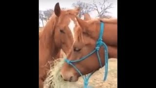 Do Horses Have Feelings & Relationships? Do They Help Other Horses? It Appears So