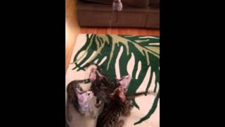 Bengal Kittens Litter of 5 Playing with Toy on Str
