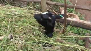 preview picture of video 'Record Keeping - JOY Goat Development Programme'