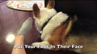 How To Mildly Annoy Your Dogs (Corgi Edition)