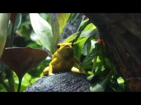 golden poison dart frog