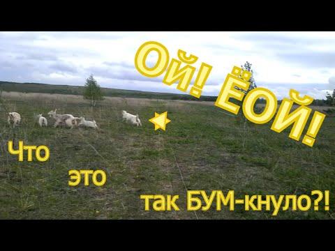 Знакомство коз с электропастухом.