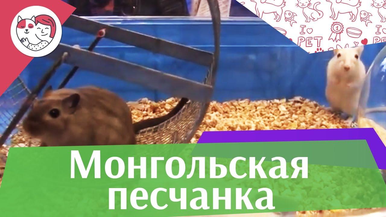 Монгольская  песчанка Выбор животного на ilikepet
