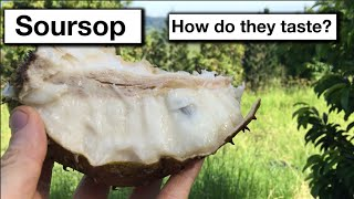 Grafted Soursop Fruit Trees Taste & Growing in Subtropical Australia NSW