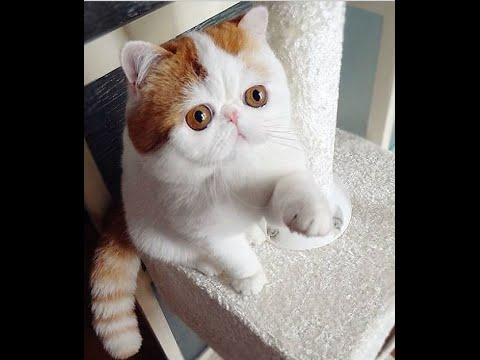 TOP 10 Beautiful Cats Breeds In World - World Famous Cats 2017||2018