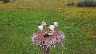 Гнездо Белых Аистов, Аэросъемка 4k / White Stork Nest