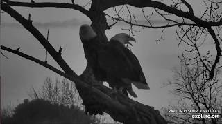 Decorah Eagles 4-1-20, 7:50 pm Mom comes home, gets frisky on skywalk