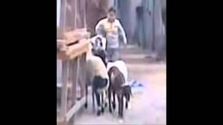طفل غبى يتحدى خروف
