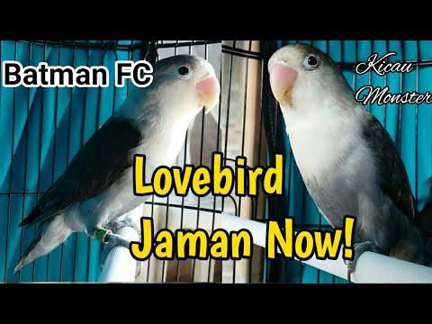 mp4 Lovebird Batman Fischery Harga, download Lovebird Batman Fischery Harga video klip Lovebird Batman Fischery Harga