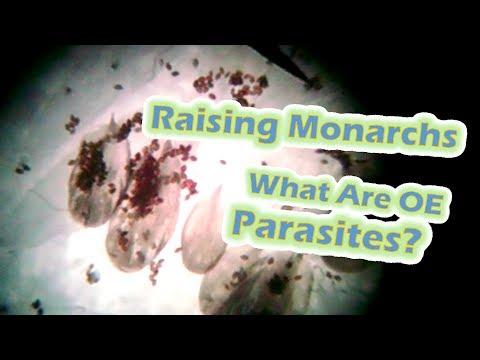 Wormwood paggamot ng mga parasito na paraan ng paggamit