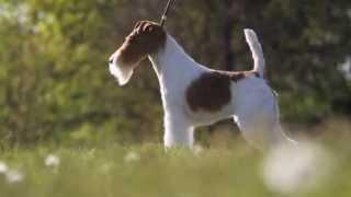 Фокстерьер Скай получила звание «собака года»