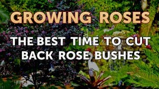 The Best Time to Cut Back Rose Bushes