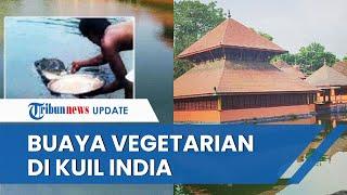 Babiya Buaya Raksasa Vegetarian yang Hidup di Kuil India Menjadi Sorotan Media Internasional