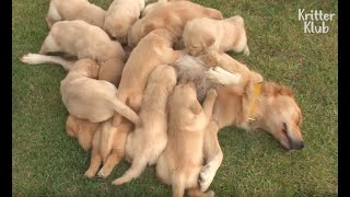 Let This Adorable Golden Retriever Family With 13 Puppies Cheer You Up | Kritter Klub