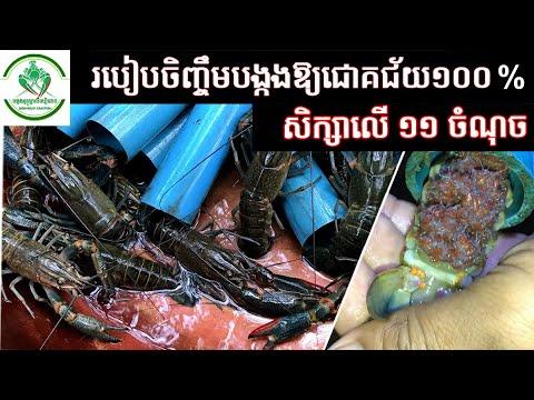 របៀបចិញ្ចឹមបង្កងបានជោគជ័យ១០០% How to Feed Red Claw Crayfish success 100% | បង្កងអូស្ត្រាលីទឹកសាប