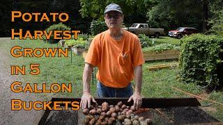 Potato Harvest Grown in 5 Gallon Buckets