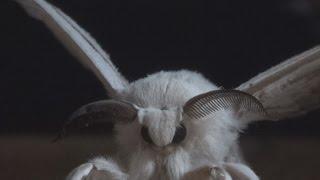 Como criar gusanos de seda Bombyx mori  v1/3