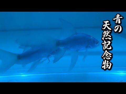 天然記念物を買ってみた! 青いテツギョ 到着・開封! お迎え 青鉄 鉄魚 青テツギョ 羽衣鮒
