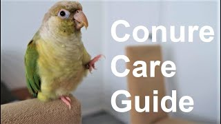 Conure Care Guide | Everything You Need To Know! | BirdNerdSophie