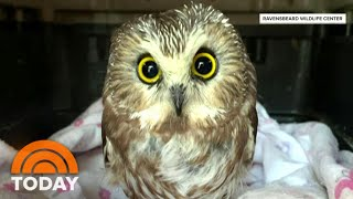 Tiny Owl Rescued From Rockefeller Center Christmas Tree | TODAY