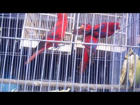 Video Budidaya Burung Nuri Menghasilkan Jutaan Rupiah