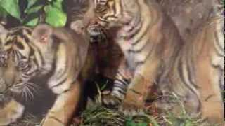 A Little Bit About the Critically Endangered Sumatran Tiger