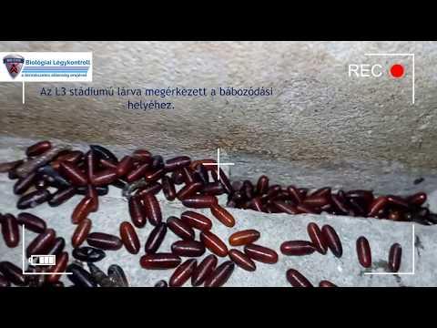 Vietnami paraziták ellen parazita penge
