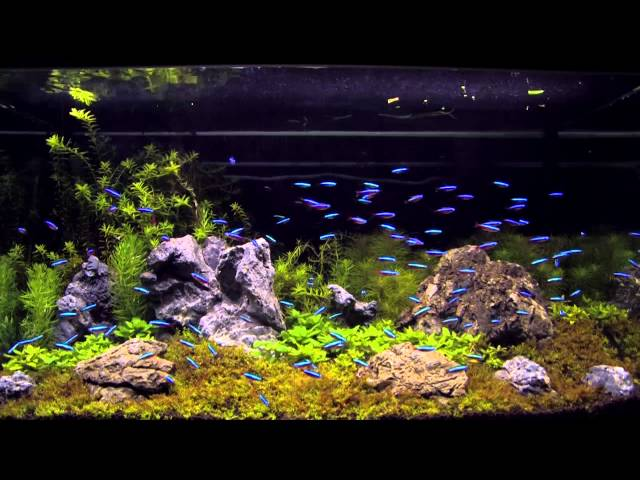 100 cardinal tetra in an aquascaping tank