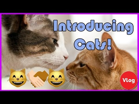 How to Introduce a New Cat! Best Way to Introduce New Cats to Each Other!