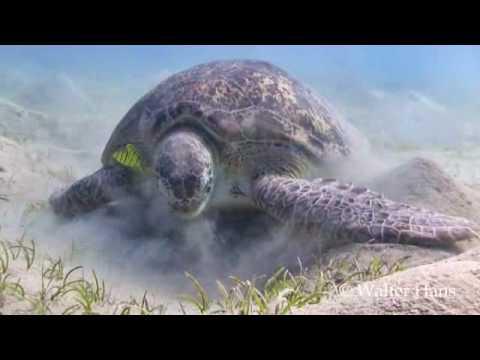 Turtles in Marsa Mubarak, Marsa   Mubarak,Ägypten