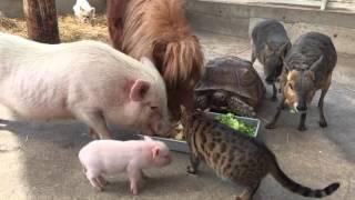Смотреть онлайн Разные животные кушают из одной посуды
