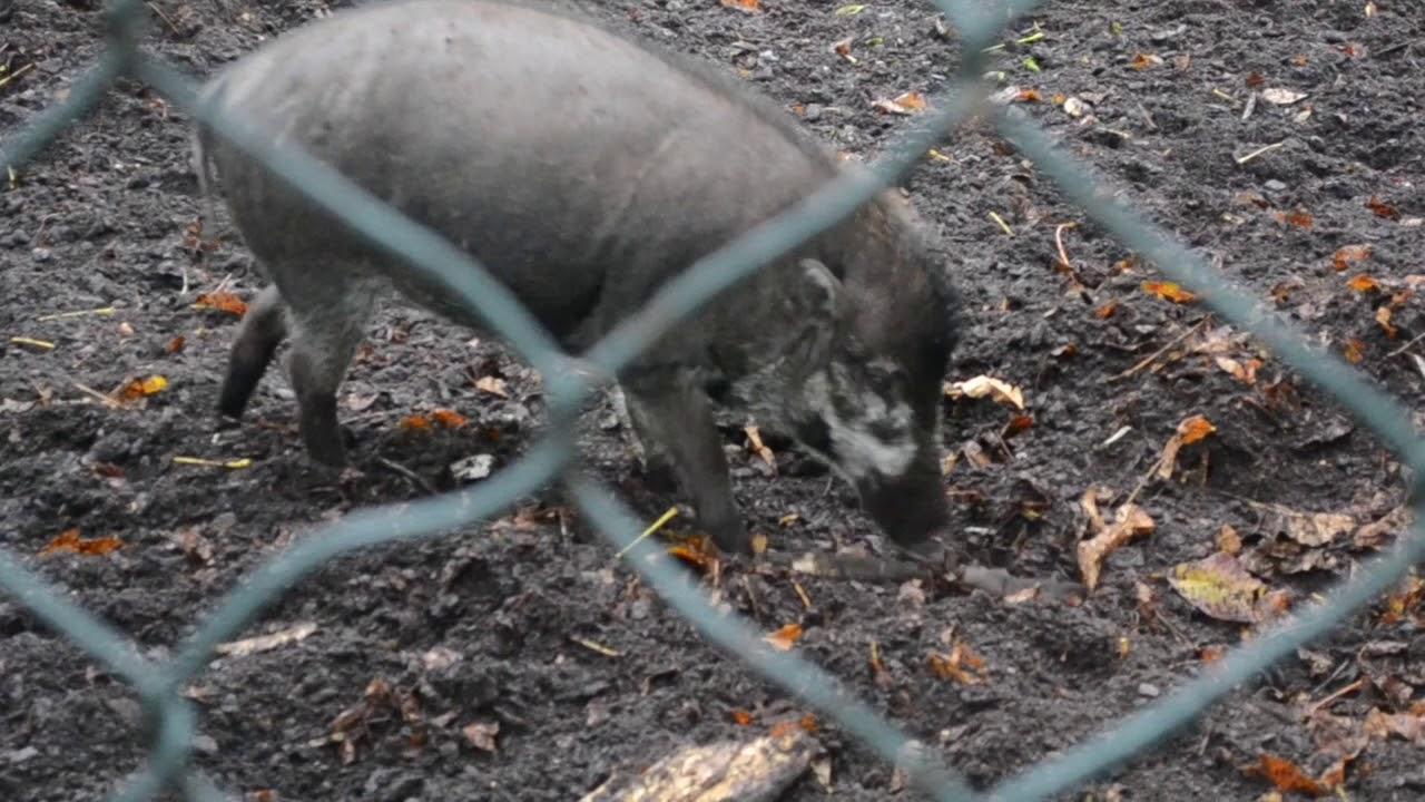#видео | Свиньи умеют копать ямы при помощи инструментов
