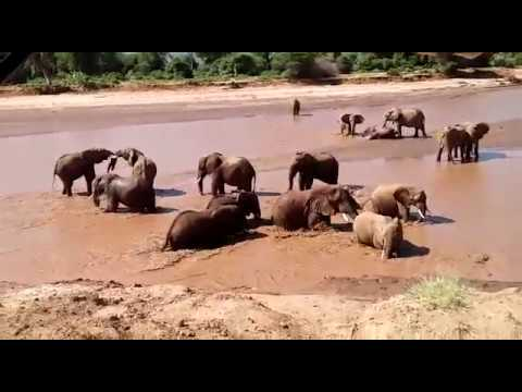 "You've heard the expression – ""happy as pigs in muck"", but what about ""happy as ellies in the river following much-needed rains""?. After months of drought, there's happiness in every moment of these contented ellies in an abundant Ewaso Nyiro River in a green and lush Samburu, northern Kenya. Check out the little ones! www.sarunisamburu.com"