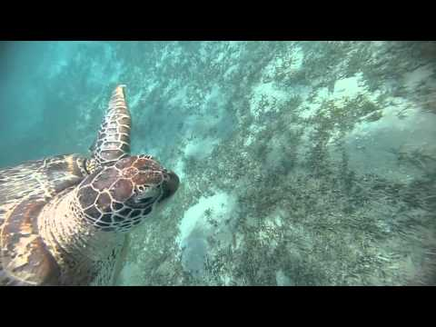 Friendly Turtle at Marsa Moubara Marsa Alam Egypt with Ducks Divers